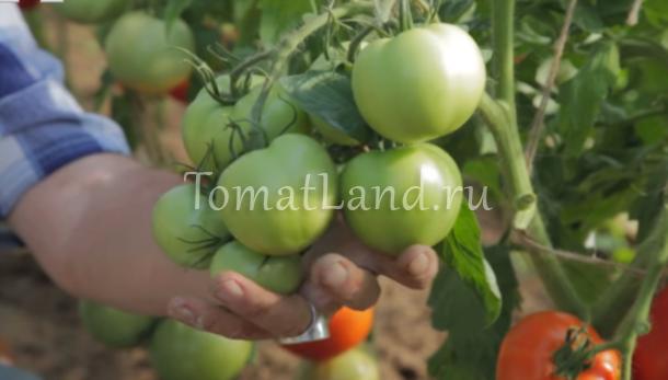 томаты диадема фото отзывы