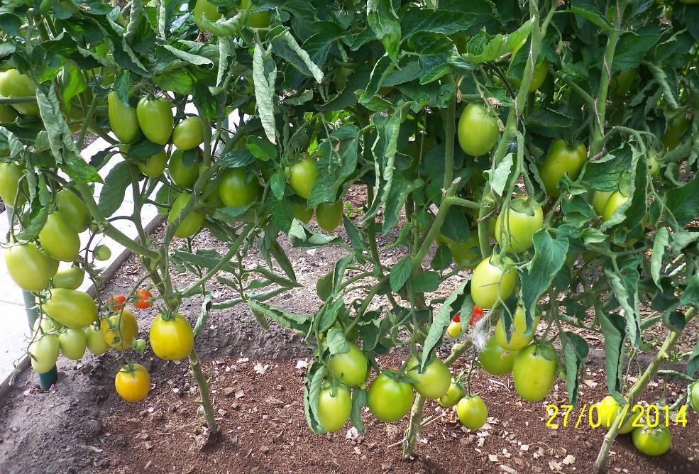томаты диаболик фото куста