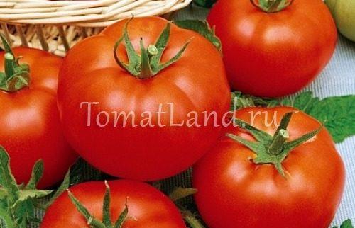 помидоры елена фото отзывы характеристика