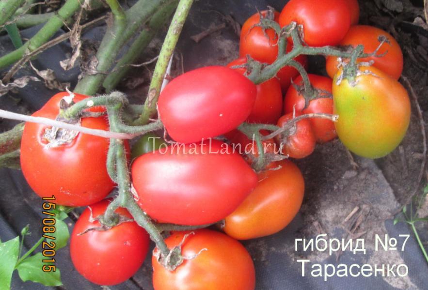 помидоры гибрид тарасенко 7 фото
