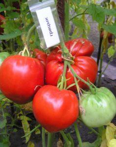 томат грицык
