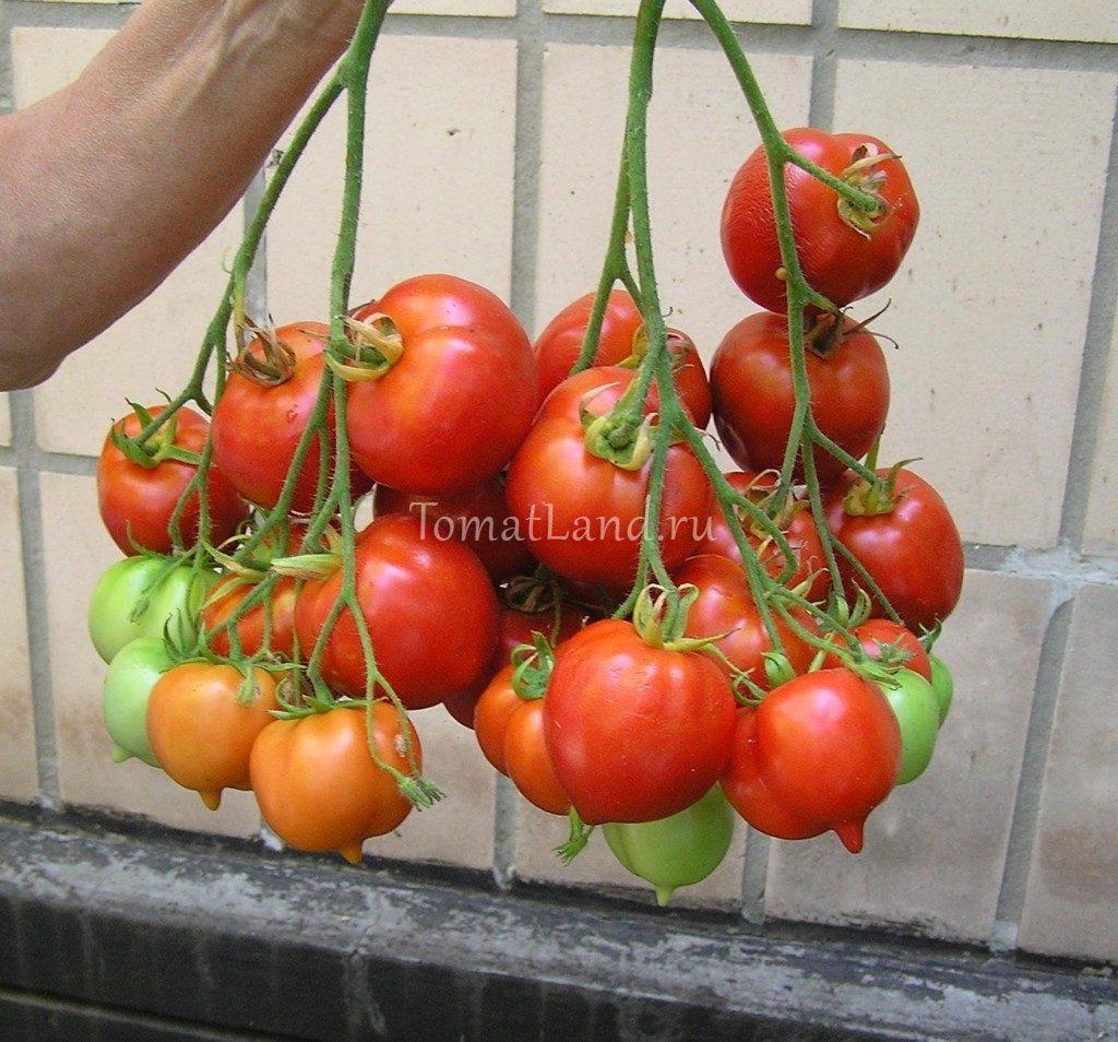 томат крон принц