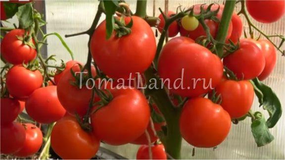 помидоры любаша фото на кусте отзывы