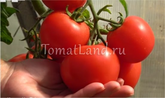 любаша фото помидора