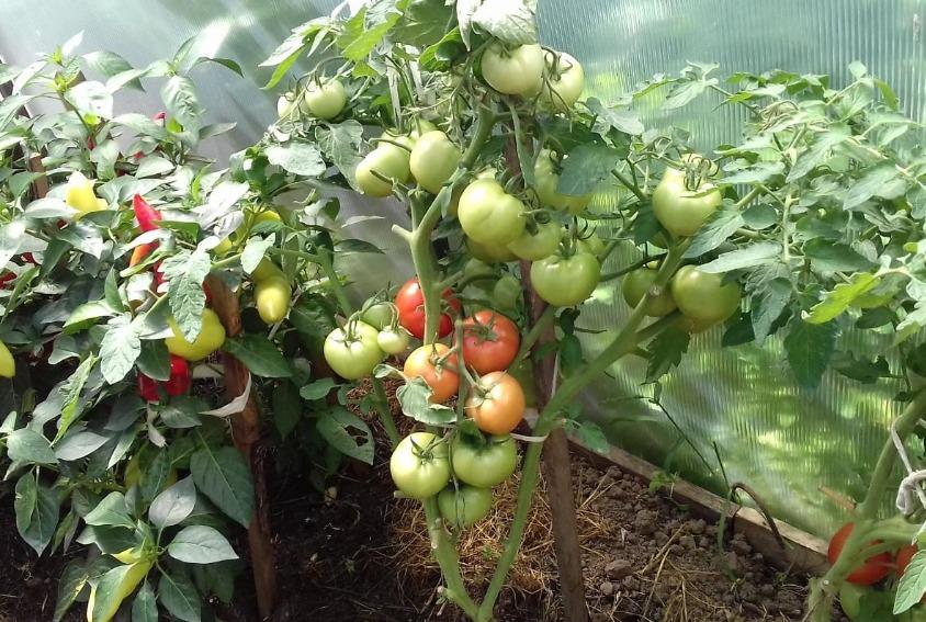 помидоры любаша отзывы
