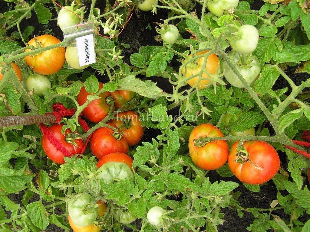 томат марианны фото куста