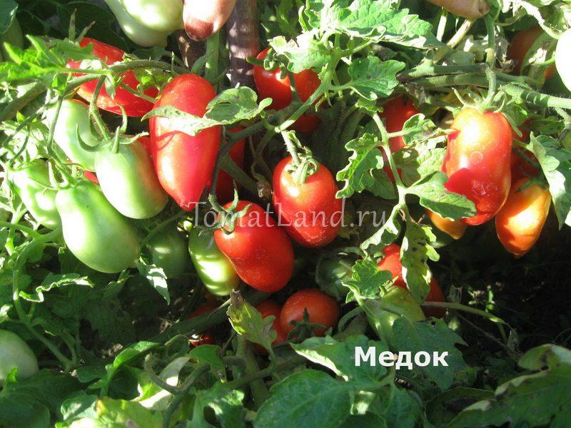 помидоры медок фото спелых плодов