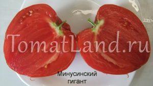 томат минусинский гигант