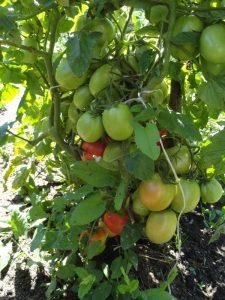 томат рио гранде