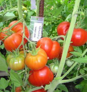 томат шаолиньский богатырь