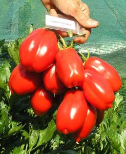 томат Скаталоне