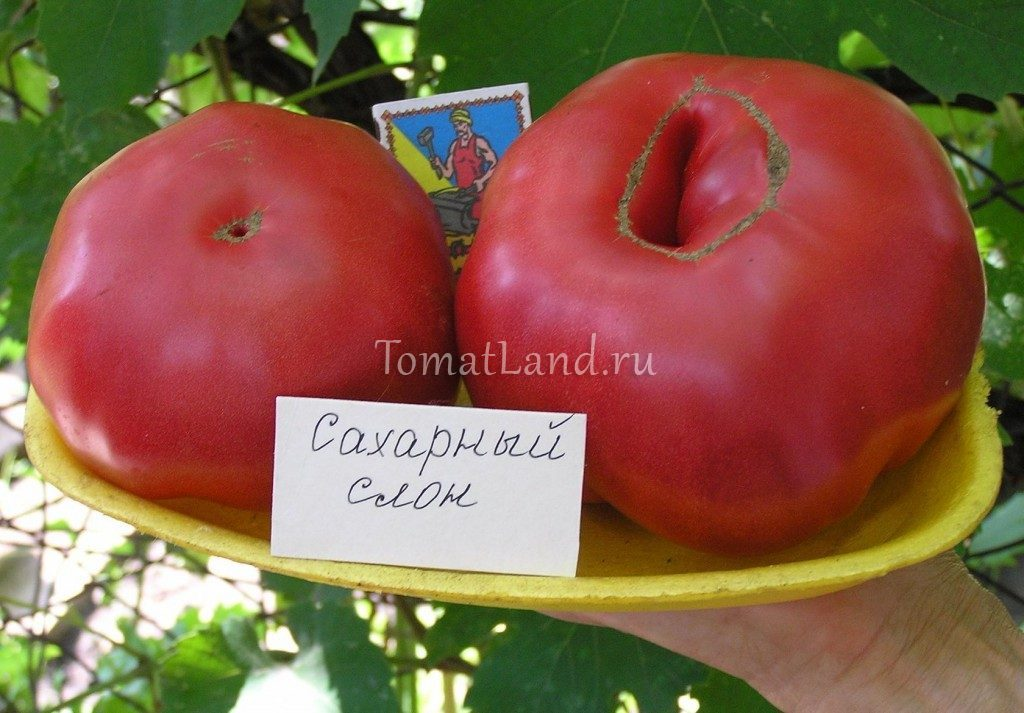 помидоры сахарный слон фото спелых плодов