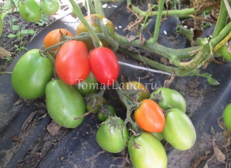 помидоры гибрид тарасенко 7 фото на кусте