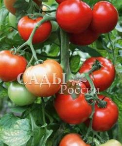 томат Восток отзывы
