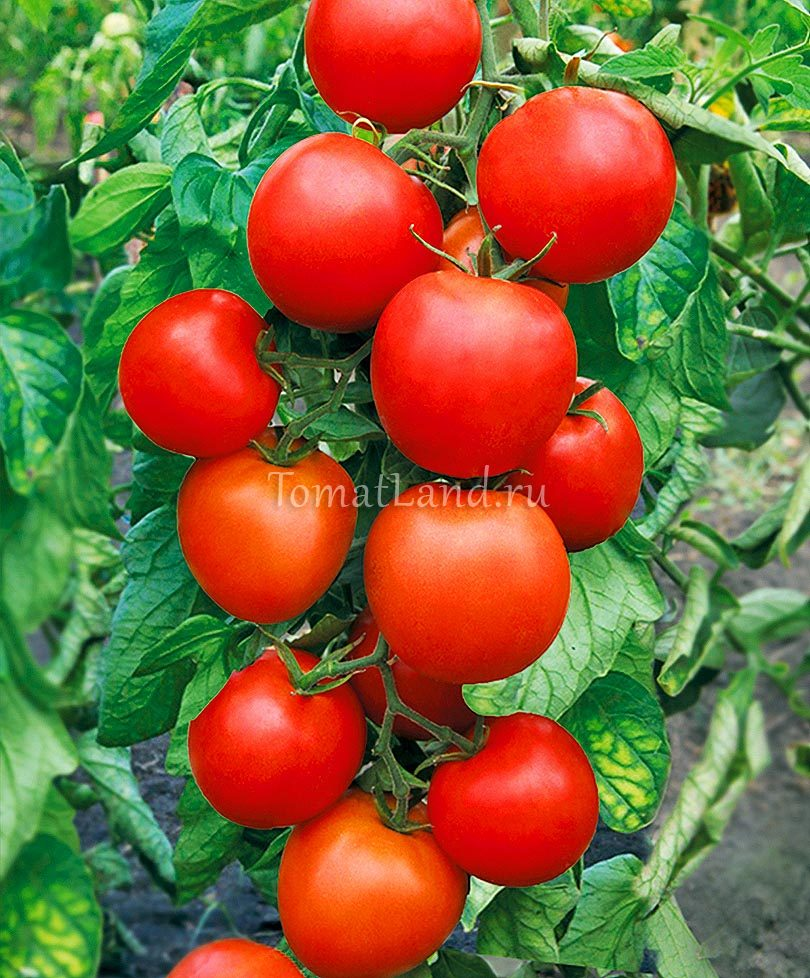 томаты афродита фото на кусте
