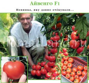 томат айвенго отзывы