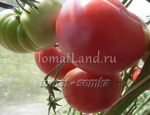 томат фальшивый эрла фото куста