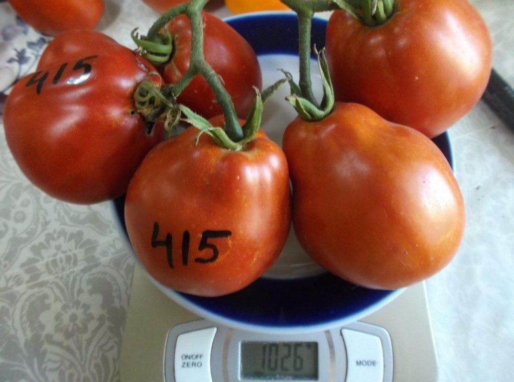 томаты гармошка фото
