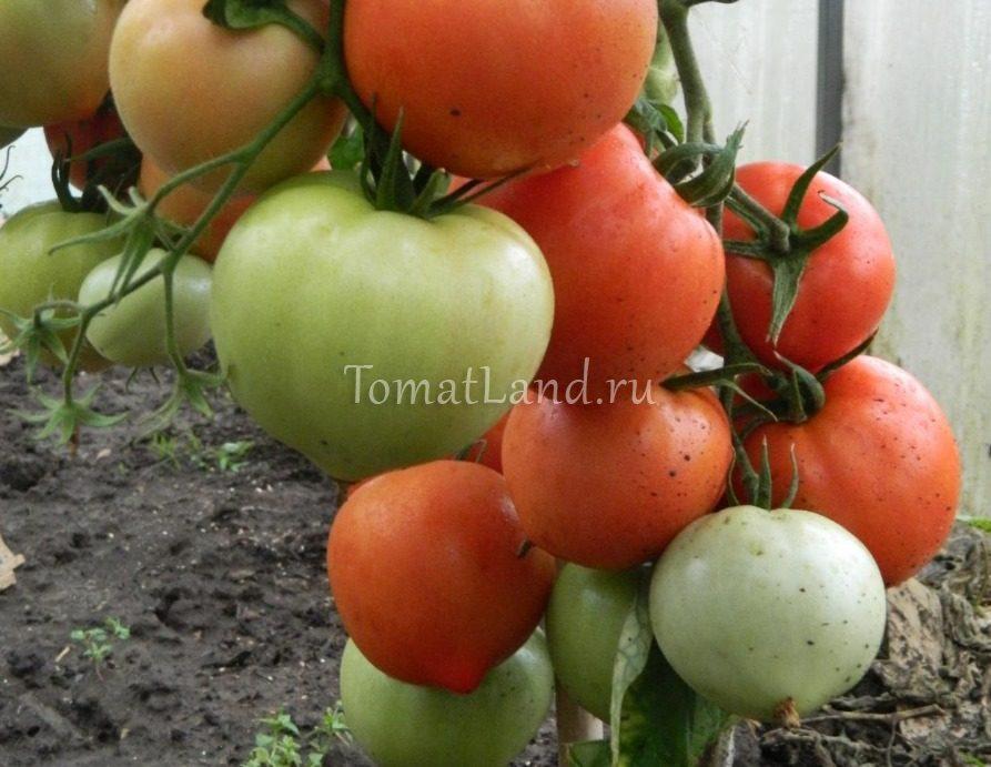 томаты хали гали отзывы и фото