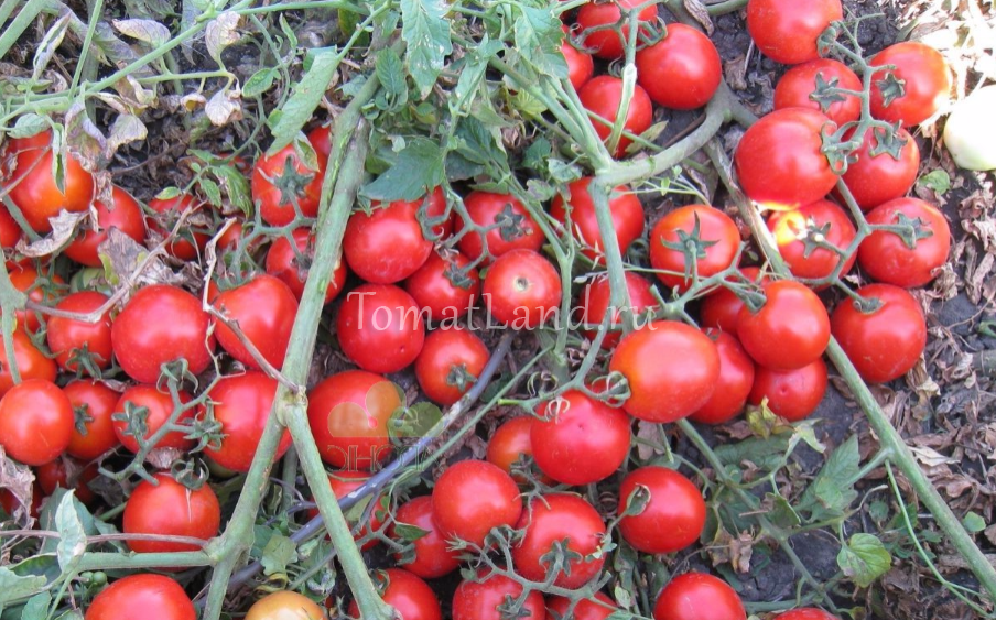 томаты Асвон отзывы