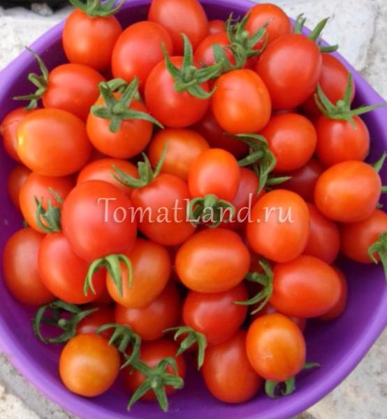 томат клюква в сахаре фото отзывы
