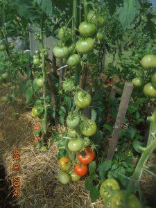 томат красным красно отзывы