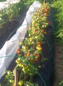томат сорт лабрадор