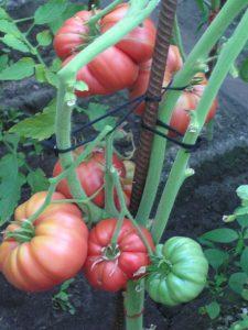 помидор медовый фото на кусте