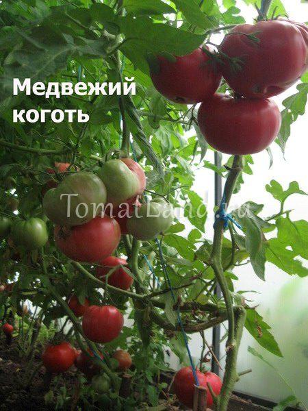 томаты медвежий коготь фото