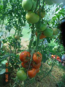 томат марьина роща