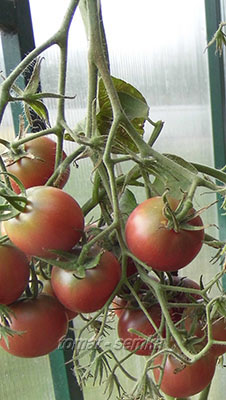 томат псамафа отзывы