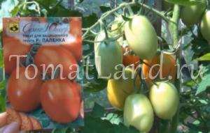 помидоры паленка фото