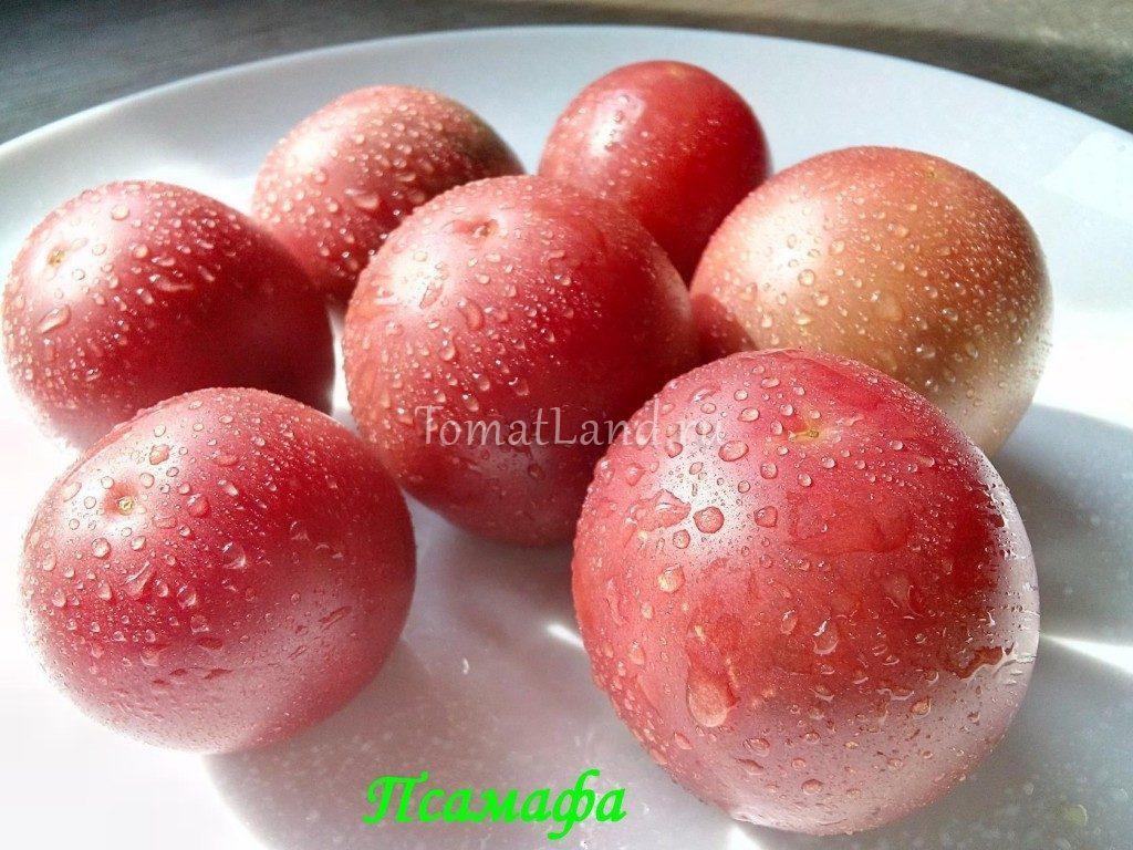 помидоры псамафа отзывы фото
