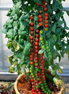 помидор рапунцель описание