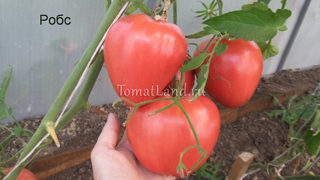 помидоры робс фото куста