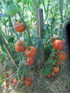 томат третьяковский