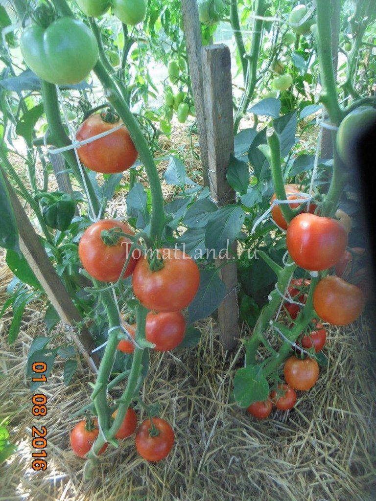 помидоры третьяковские