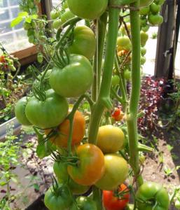 томат увертюра