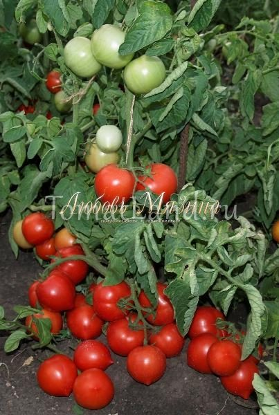 томаты Моя любовь отзывы с фото
