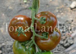 помидоры ашкелон фото на кусте