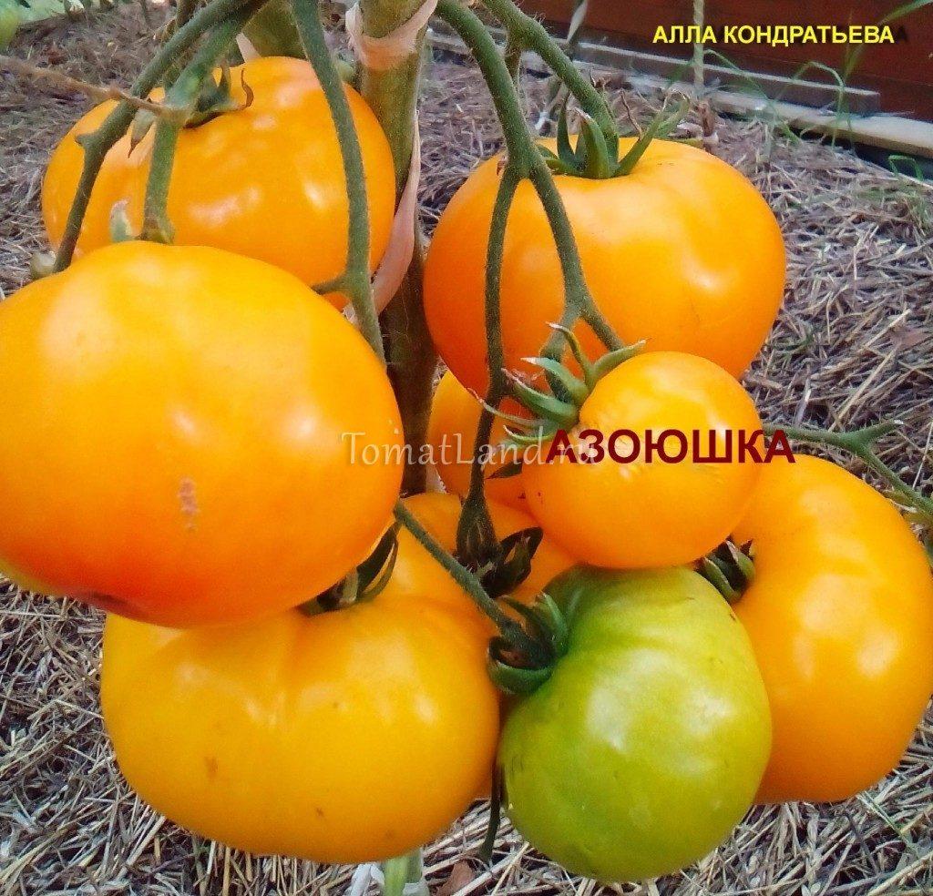 помидор азоюшка фото отзывы