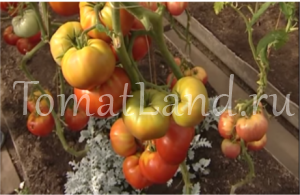 помидоры бабушкин подарок фото