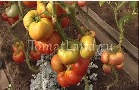помидоры бабушкин подарок отзывы фото