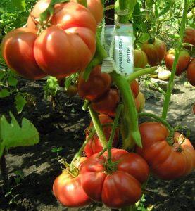томаты демидовские лапти фото