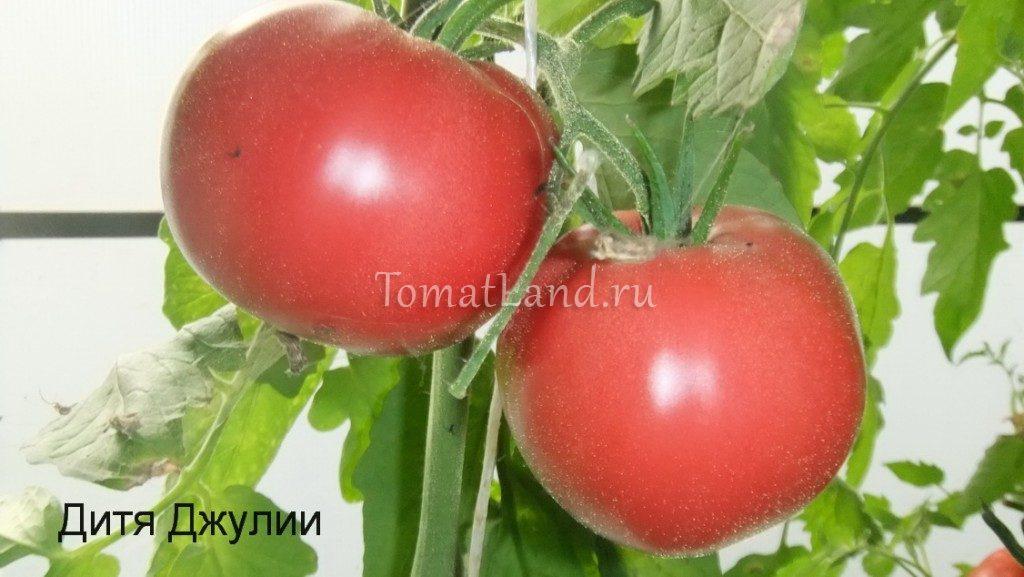 томат дитя джулии фото