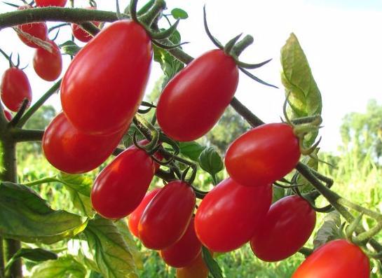 томаты Эльф фото отзывы характеристика