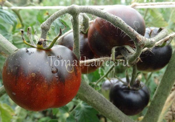 помидоры голубой дым фото спелых плодов