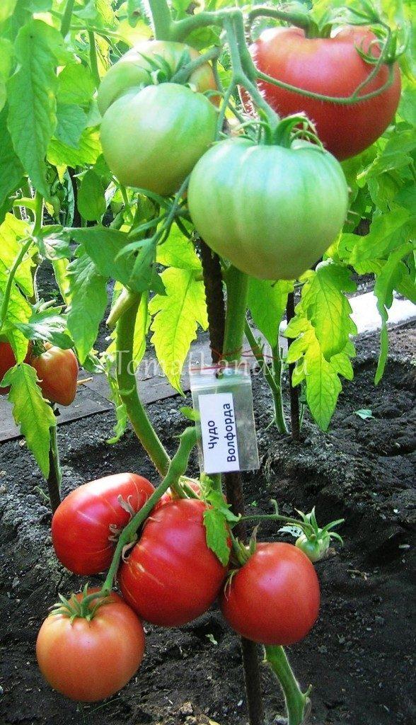томаты чудо волфорда фото на кусте
