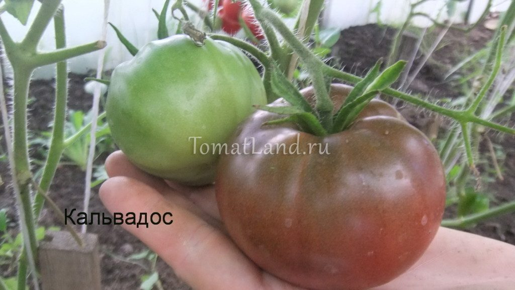 помидоры кальвадос фото