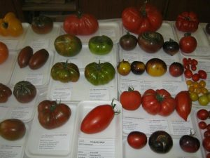 томаты от Королева